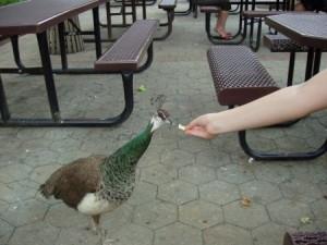 Bronx Zoo - Feeding a peahen