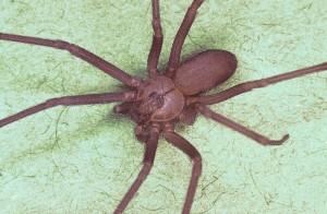 Brown Recluse Spider - Public Domain Image