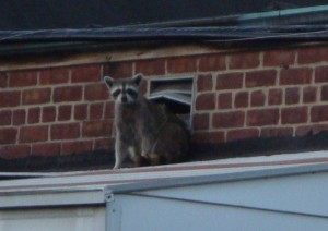 Raccoons in the roof update #2